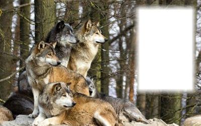 farkasok 1 kép