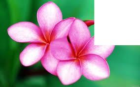 fleur Tahiti ...