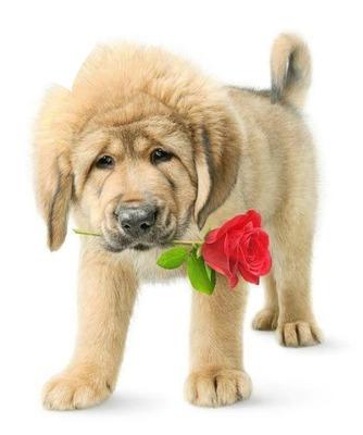 chien avec une rose dans sa gueule 1 photo