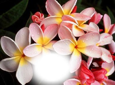Montage Photo Fleur De Tahiti Pixiz