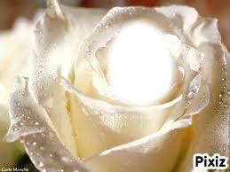 rose romantique