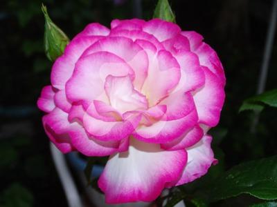 """""""rose fontainas 2"""""""