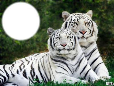 2 tigres blanc